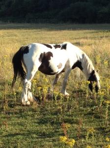 A grazing horse